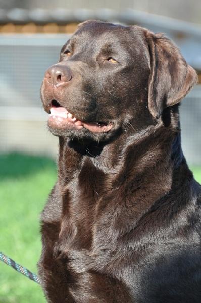 eclair au chocolat de la passe de l 39 eider chien de race toutes races en tous departements france. Black Bedroom Furniture Sets. Home Design Ideas