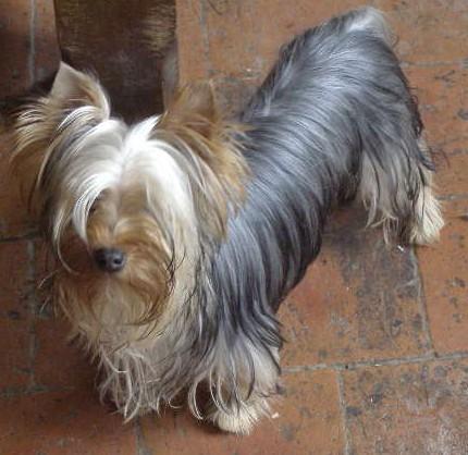 Les Yorkshire Terrier de l'affixe des Pommiers du Pays d'Othe