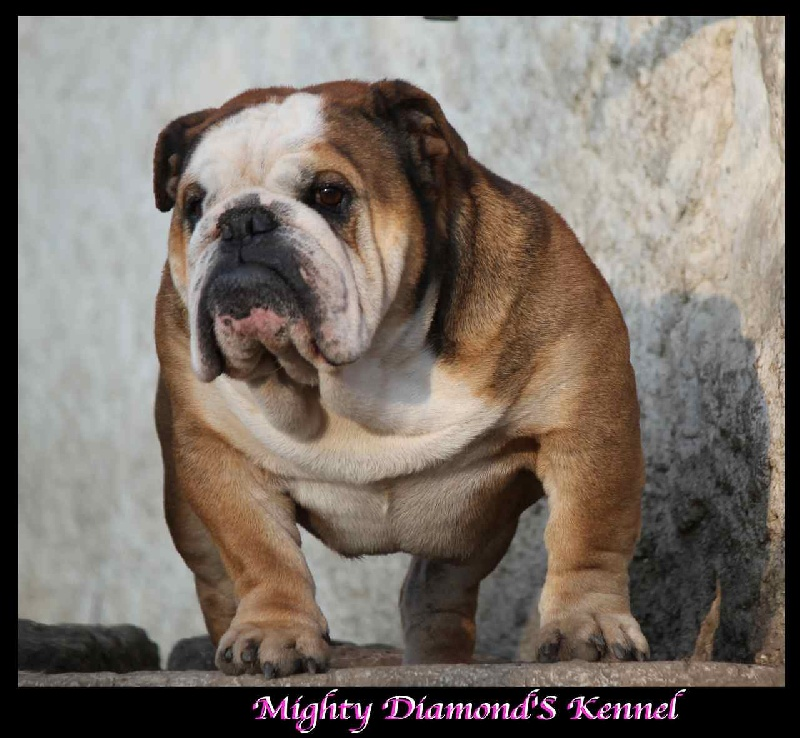 Les Bulldog Anglais de l'affixe Mighty Diamond's