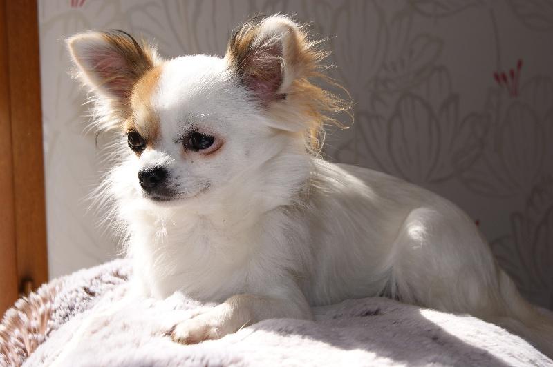 Les Chihuahua de l'affixe Des Nichées De Riopse