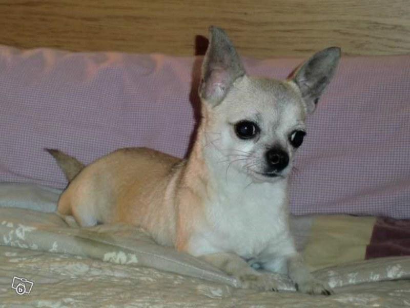 http://www.chiens-de-france.com/photo/chiens/2012_04/chiens-Chihuahua-6ca8bd8f-eca0-fdc4-c58e-bb07a237ffa8.jpg