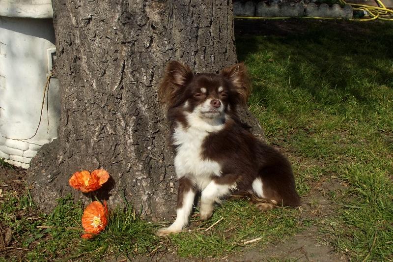 Les Chihuahua de l'affixe Des Chtichihuahuas