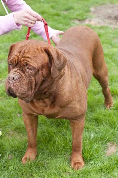 Les Dogue de Bordeaux de l'affixe Du Royaume D'eragon