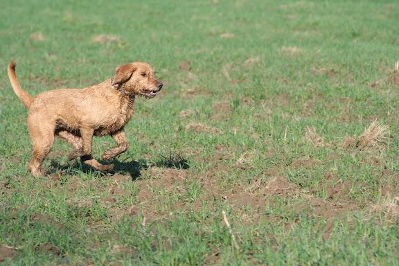 Le Standard de la race Griffon fauve de Bretagne sur Atara.com