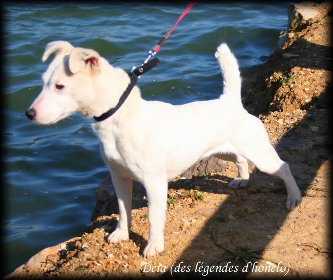 Les Jack Russell Terrier de l'affixe des legendes d'honelo