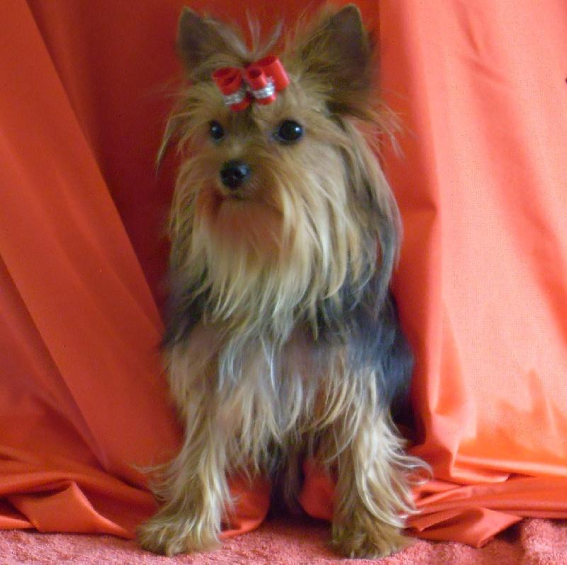 Yorkshire Terrier - Gipsy
