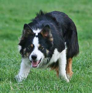 Border Collie - Gary