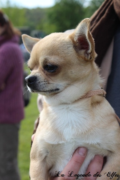 Les Chihuahua de l'affixe la legende des elfes