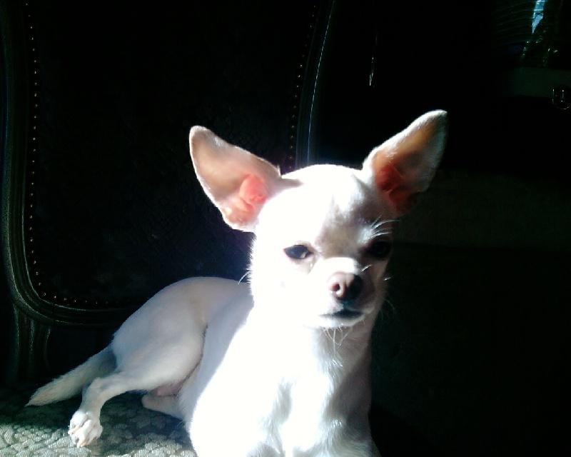 Les Chihuahua de l'affixe Des Etoiles D'ambre