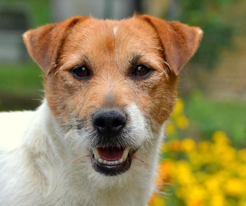 Les Jack Russell Terrier de l'affixe du Domaine du Carpé