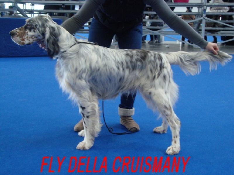 Setter anglais - Fly Della cruismany