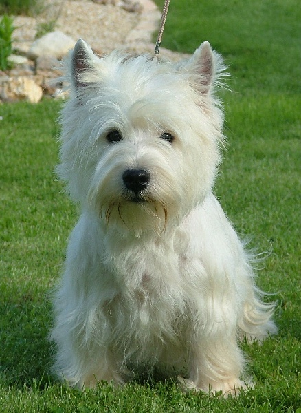 Les West Highland White Terrier de l'affixe du domaine Lecordy