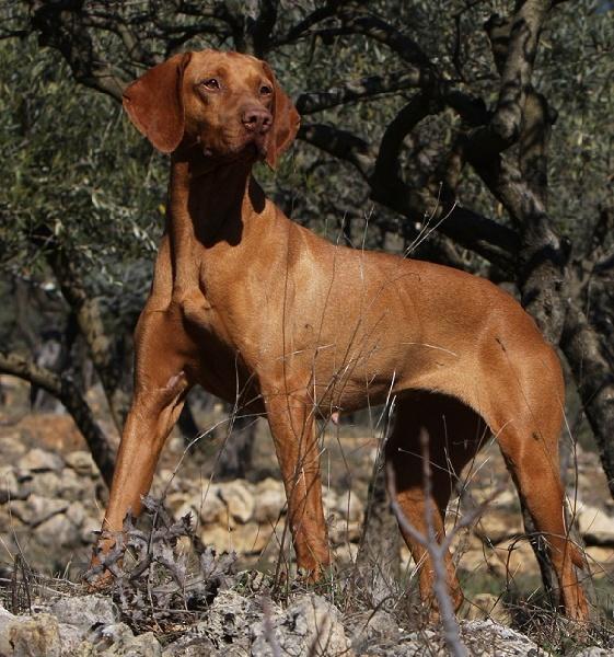 Ch tr uriel du clos de la beaume chien de race toutes races en tous departements france - Braque hongrois a poil court ...