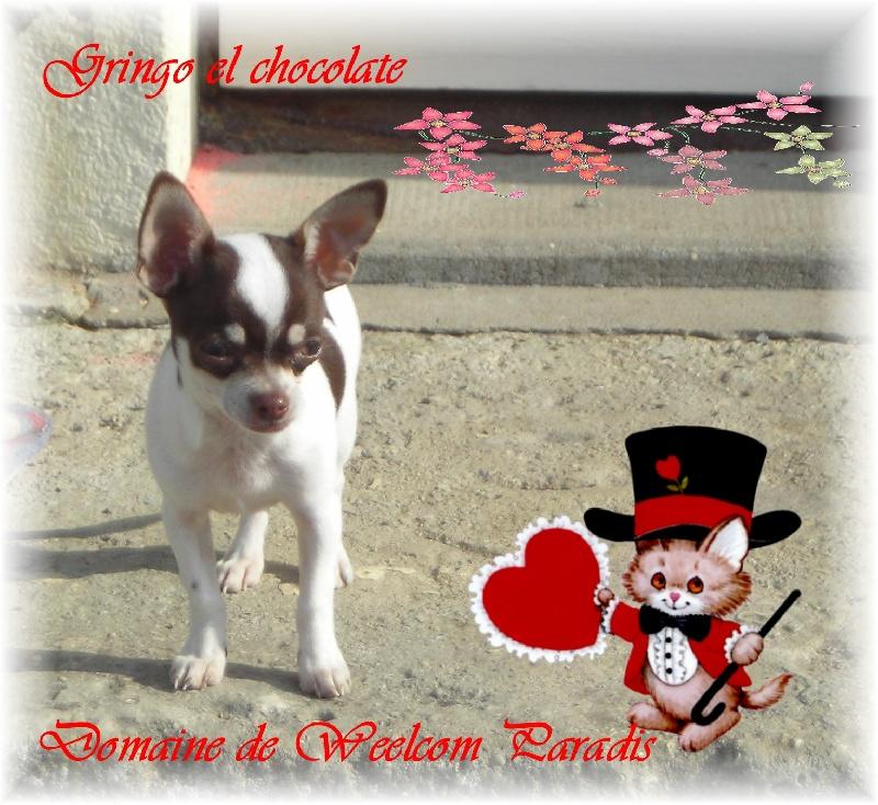 Chihuahua - Gringo el chocolate du Domaine de Cyrnéa