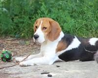 Les Beagle de l'affixe Des Jardins De Vesco