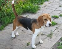Les Beagle de l'affixe rainbow colors