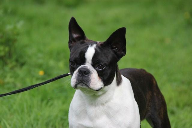 Boston Terrier - CH. Fan club Du grand fresnoy