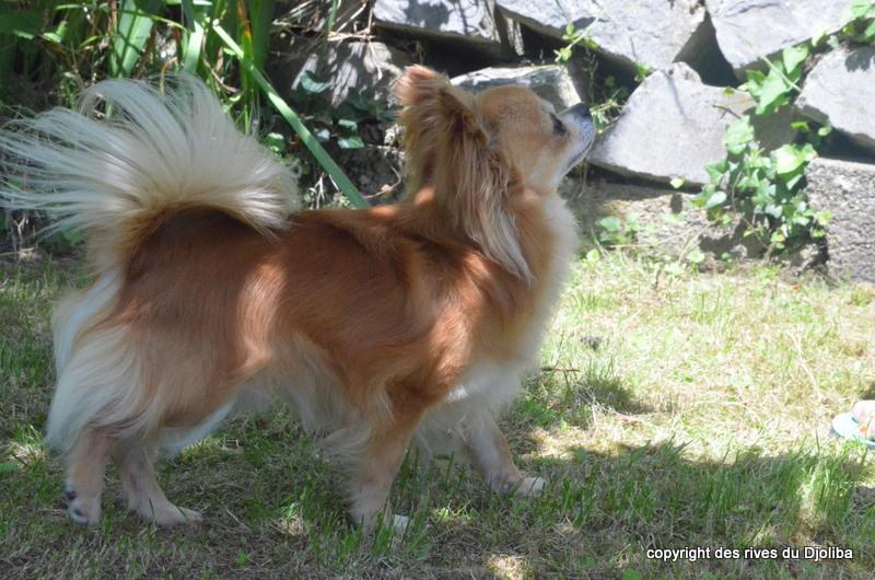 Les Chihuahua de l'affixe Des Rives Du Djoliba