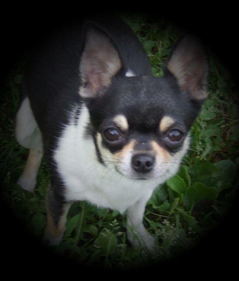 Les Chihuahua de l'affixe Du clos de champcheny