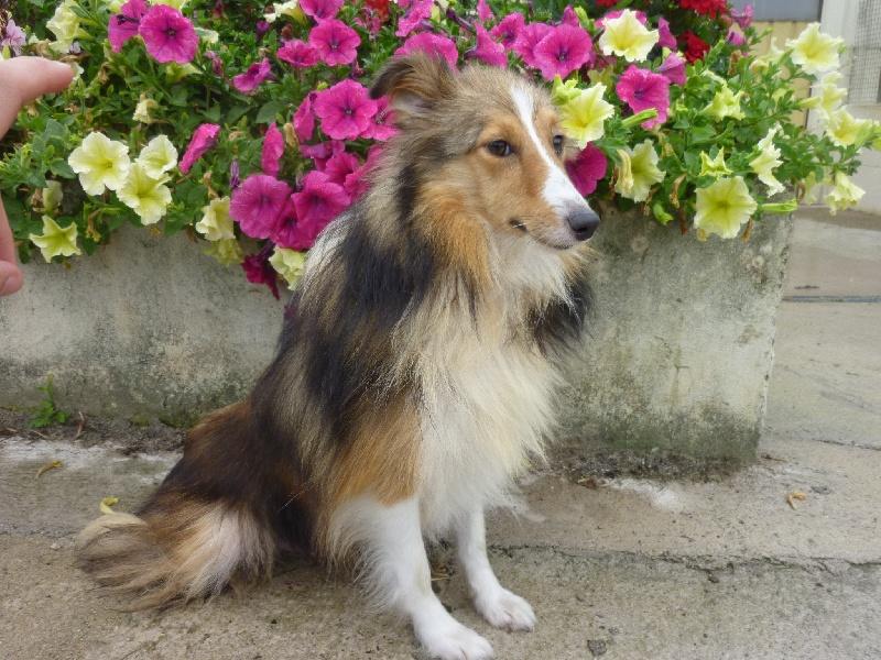 Shetland Sheepdog - Gypsie Des dames Chanoinesses