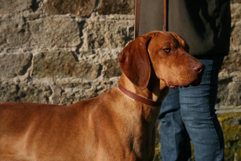 Ga a du chateau des mon di res chien de race toutes races en tous departements france inscrit - Braque hongrois a poil court ...