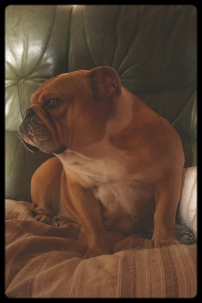 Le Standard de la race Bulldog Anglais sur Atara.com