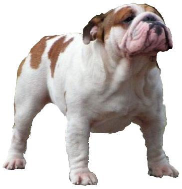 Les Bulldog Anglais de l'affixe De La Maison D'izzie