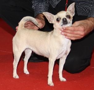 Les Chihuahua de l'affixe du Domaine San Sébastian
