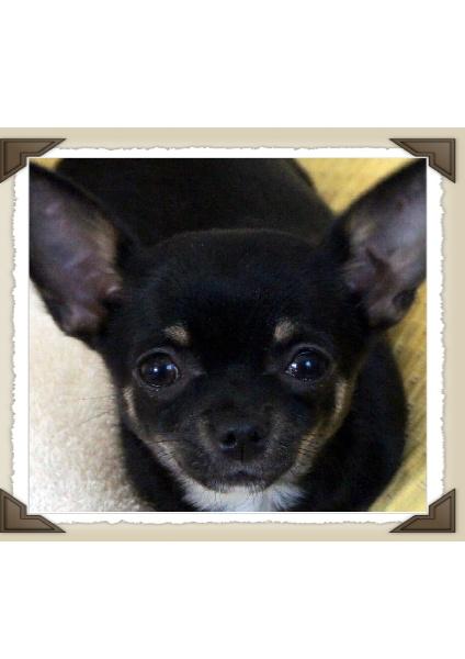 Les Chihuahua de l'affixe De La Tour de Valbelle