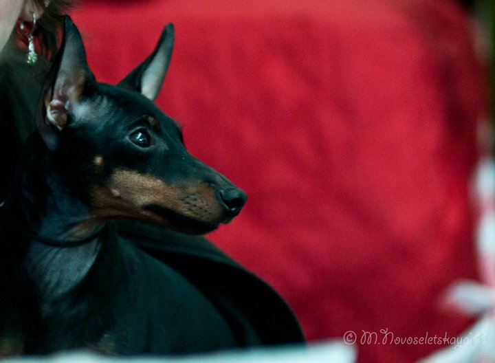 Le Standard de la race English Toy Terrier sur Atara.com