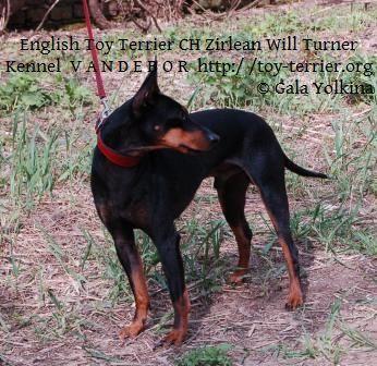 English Toy Terrier - CH. zirlean Will turner