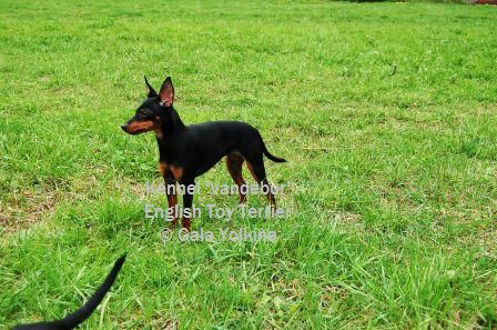 Le Standard de la race English Toy Terrier sur Atara.com