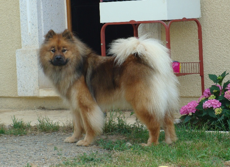 Accueil - Elevage De Jereylle - eleveur de chiens Eurasier