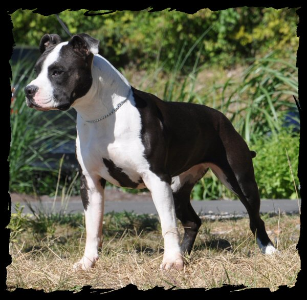 American Staffordshire Terrier - Mylee long step