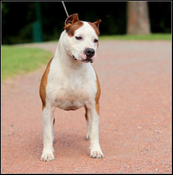 Les American Staffordshire Terrier de l'affixe du temple de Gaïa