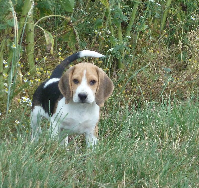 Les Beagle de l'affixe La Pouponnerie, Elevage Du Pre Moussey