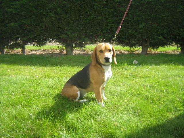 Les Beagle de l'affixe Du Royaume Des Aussies