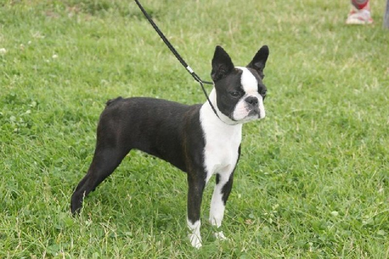 "american gentleman boston terrier Check out our boston terrier puppies for sale  this ""american gentleman"" was accepted in 1893 by the  the average life span of a boston is around."