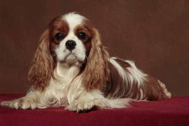 Cavalier King Charles Spaniel - Escort boy Du clos de larpege