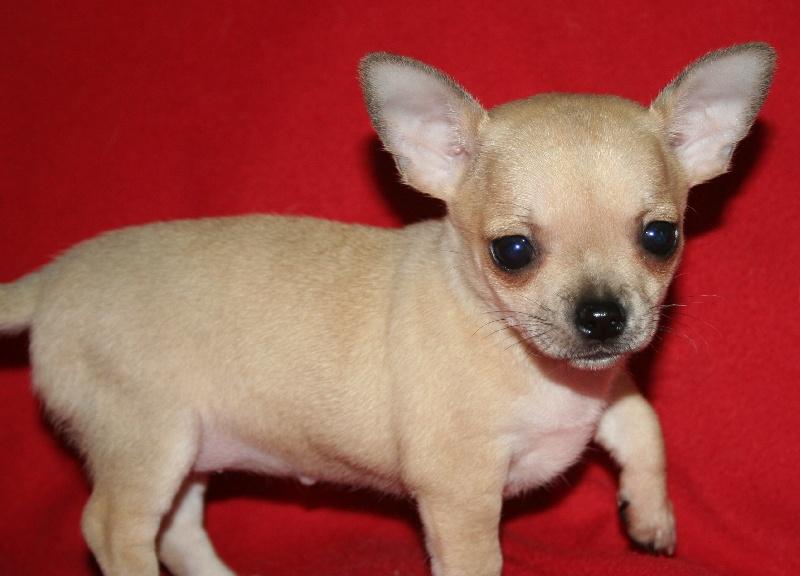 Les Chihuahua de l'affixe Arcane Land