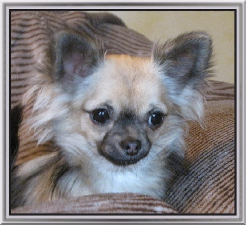 Les Chihuahua de l'affixe des rèves polaires