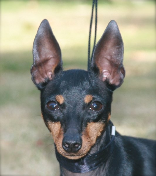 Les English Toy Terrier de l'affixe Of tall and small