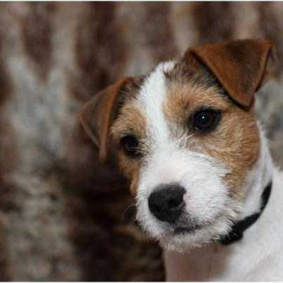 Parson Russell Terrier - Hullys des very important Parson