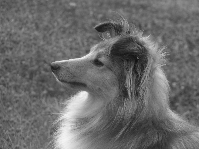 Les Shetland Sheepdog de l'affixe de Kertanhyys
