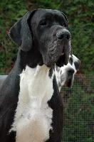 CH. Falown d'Omaha dog