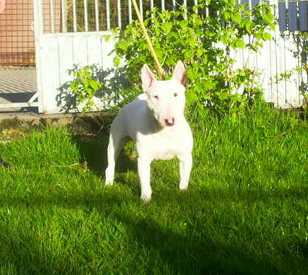 Le Standard de la race Bull Terrier sur Atara.com