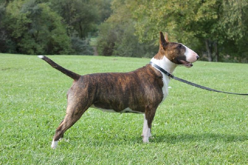 Les Bull Terrier de l'affixe du pays du Mont Blanc