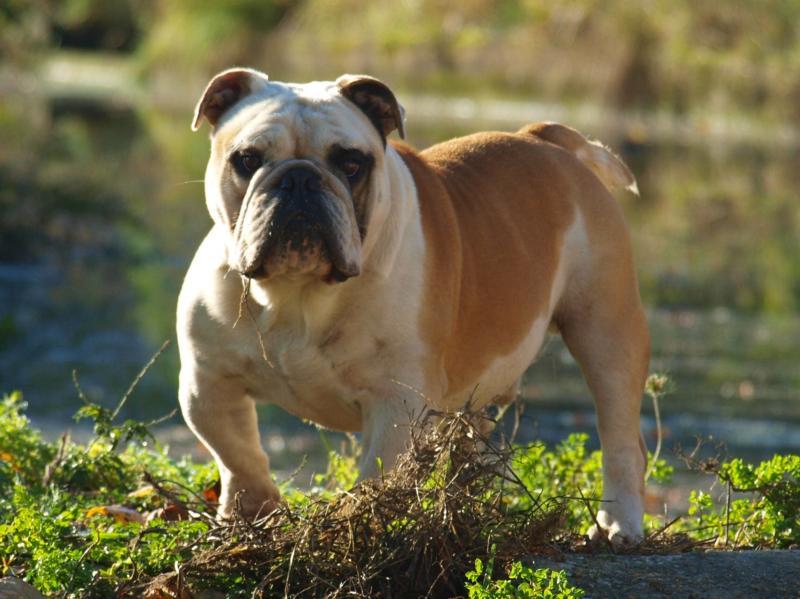 Les Bulldog Anglais de l'affixe du royaume de nati