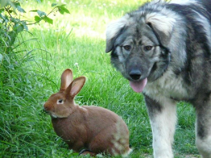 Standard Officiel De Chien Fci Scc De La Race Canine Chien