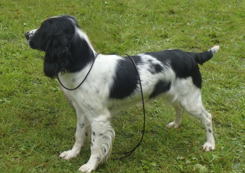 Les English Springer Spaniel de l'affixe Feeling Cottage